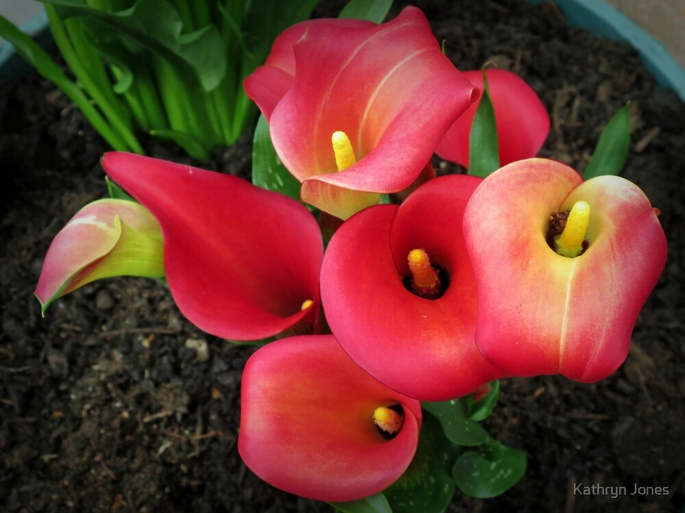 Reddish-Pink Calla Lilies Vignette by Kathryn Jones