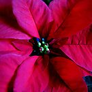 Journey into Scarlet - Poinsettia Macro by Kathryn Jones