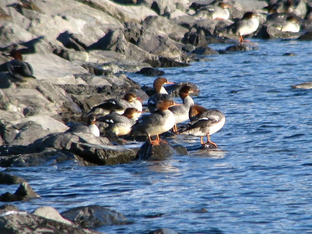 Ducks by lilestduncan