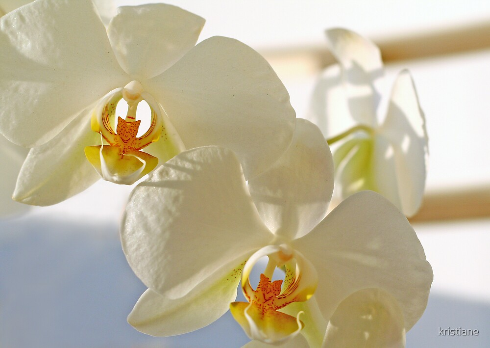 Orchid by kristiane