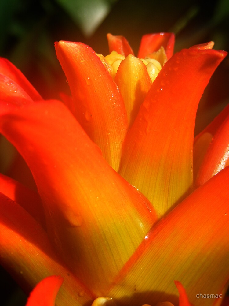Orange Succulent by chasmac
