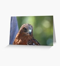 The Red Shouldered Hawk Greeting Card