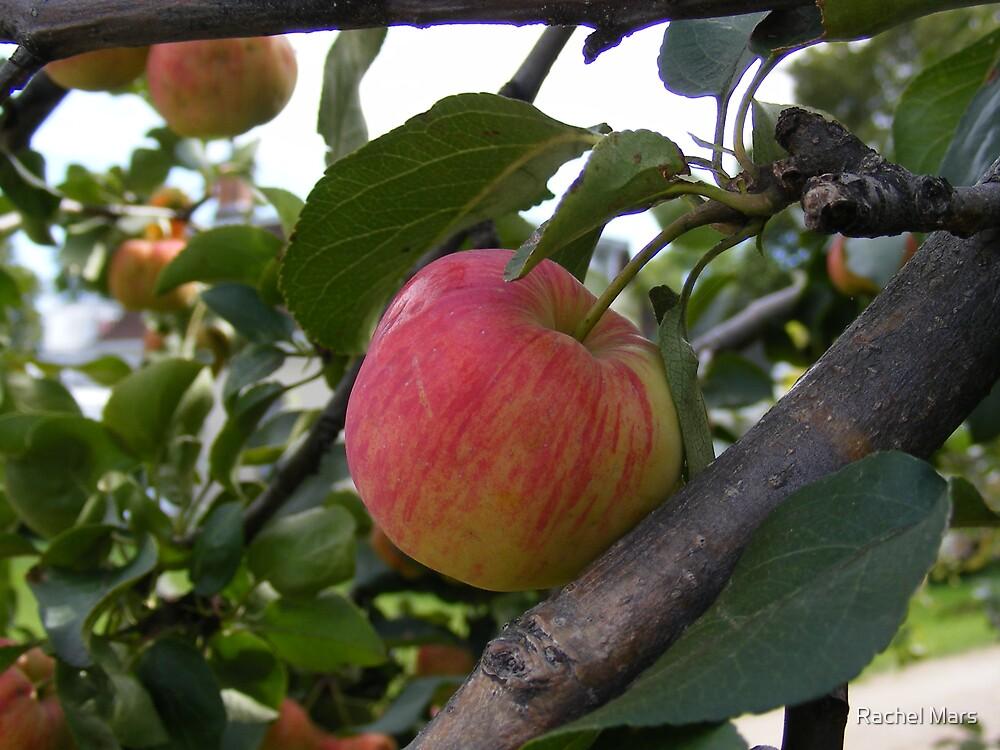 Spring Apple by Rachel Mars