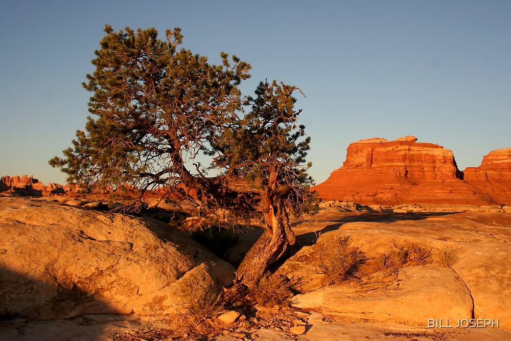 Canyonlands pine by BILL JOSEPH