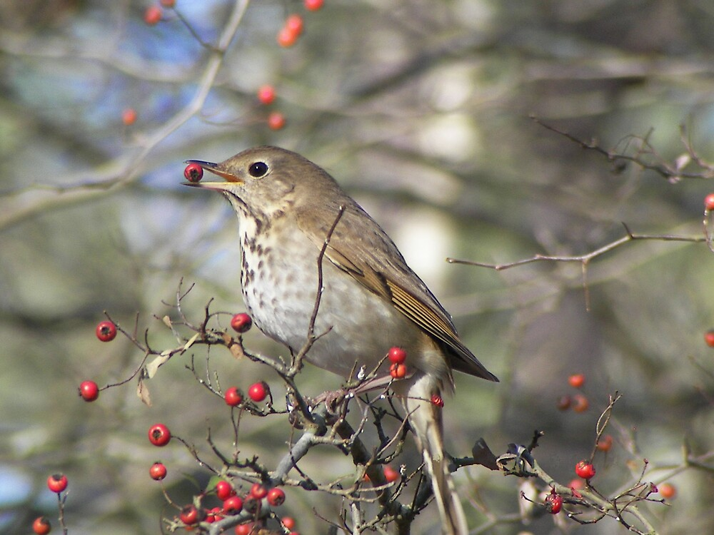 Hermit Thrush with Berry by dhickman