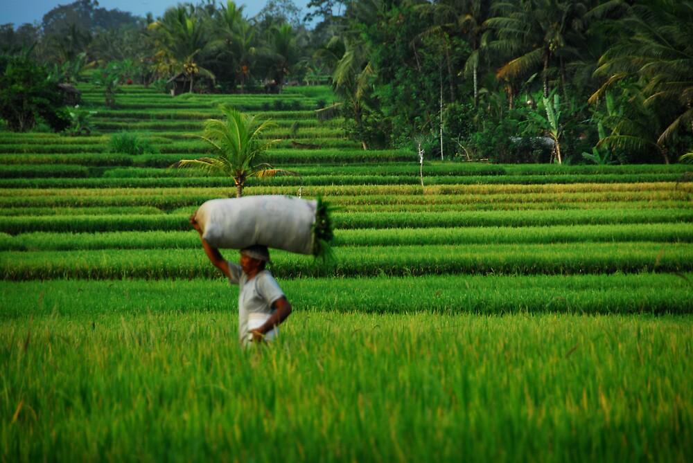 Rice Harvest by matt mackay
