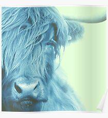 scottish cow Poster