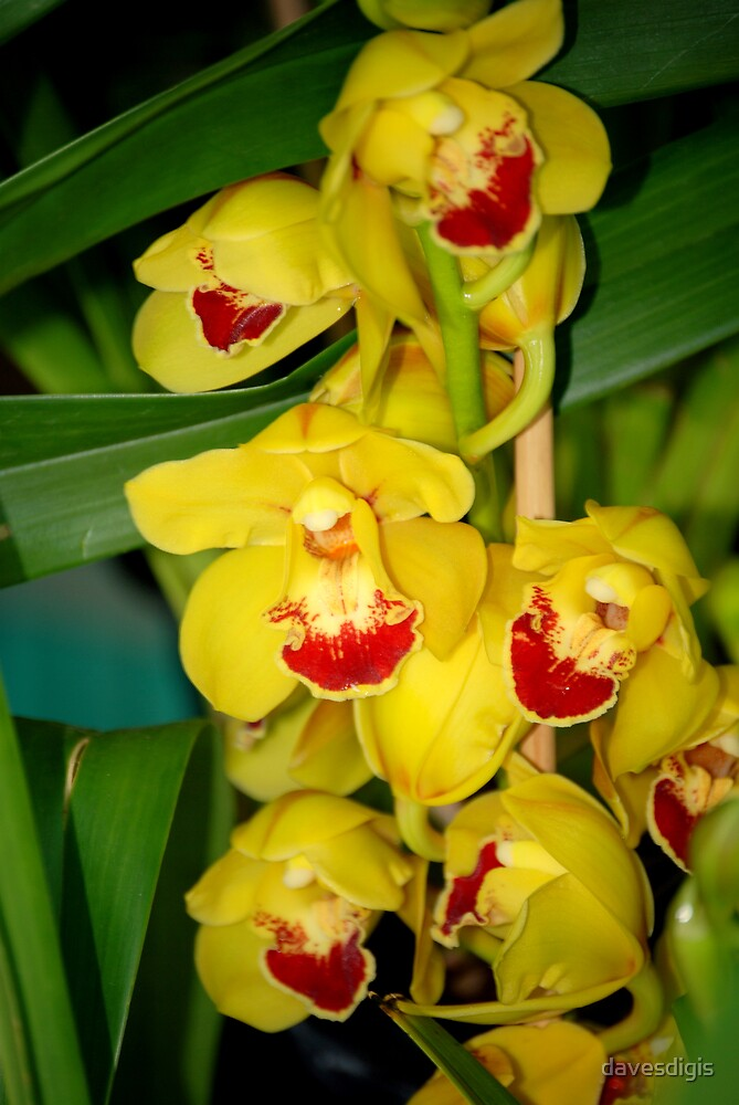 Yellow Orchids by davesdigis