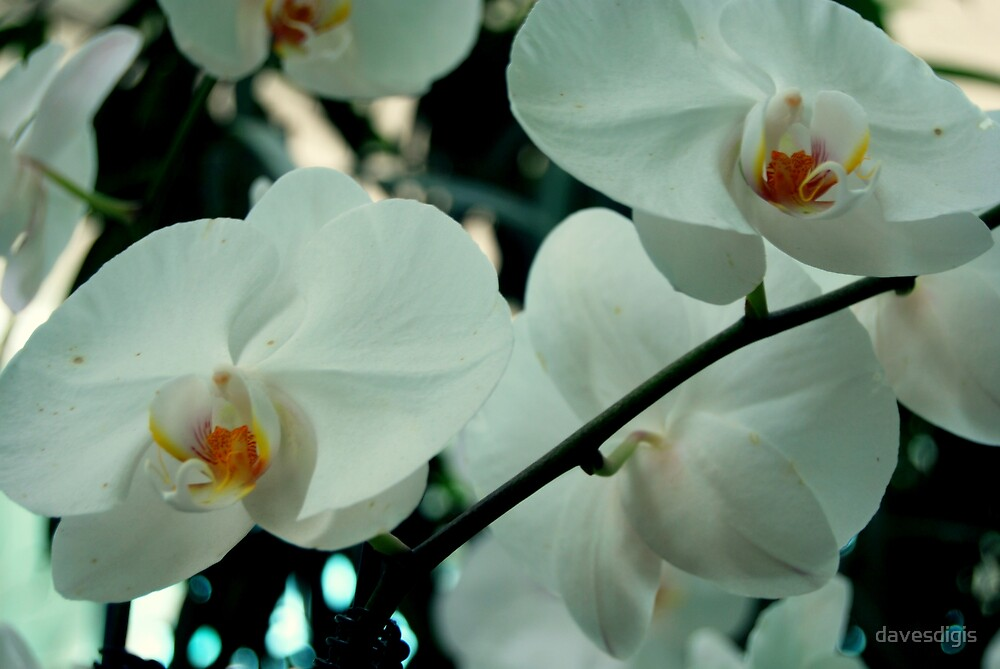 ORCHID WHITE OUT by davesdigis