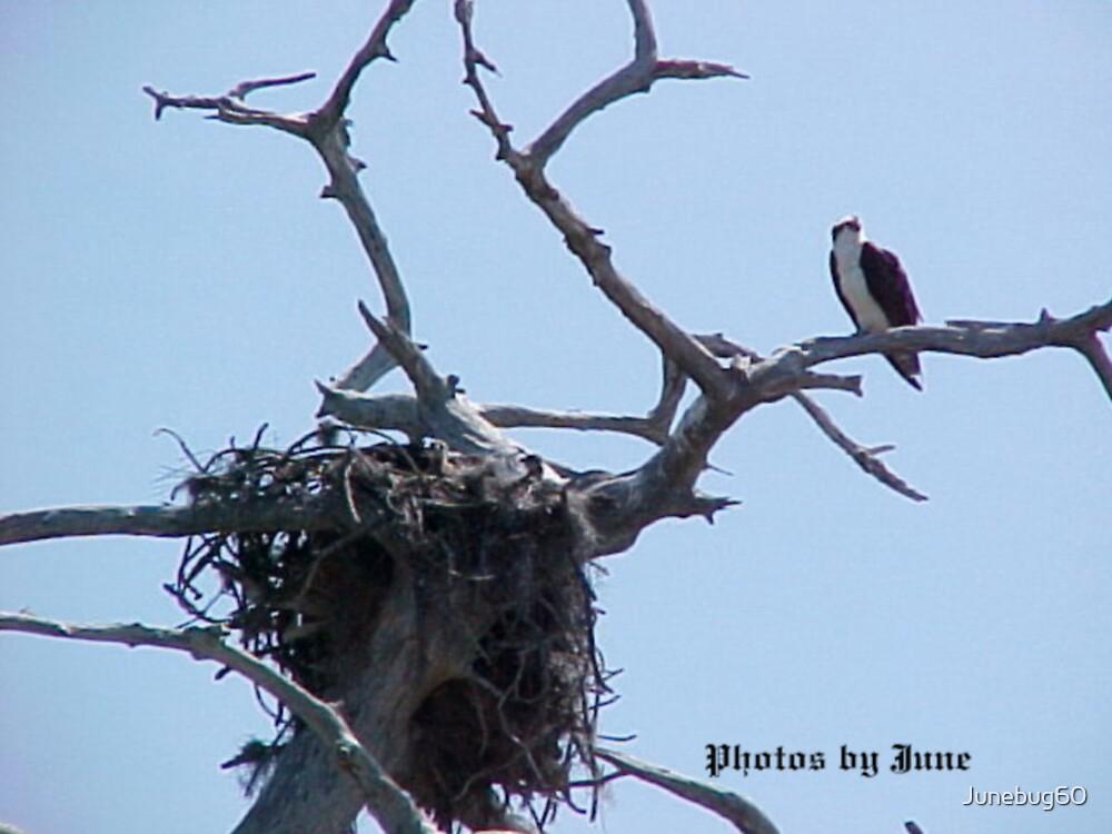 Ospry with Nest by Junebug60