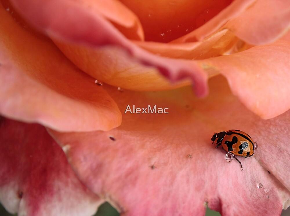LadyBeetle by AlexMac