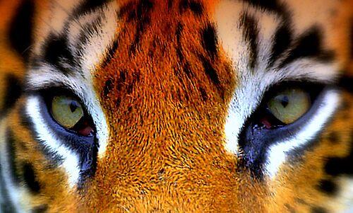 Eye of the Tiger by ShAzAnAzAmAn