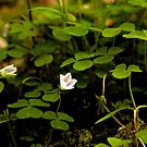 Wood Sorrel, Ness Woods, County Derry by George Row
