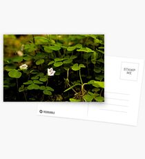 Wood Sorrel, Ness Woods, County Derry Postcards