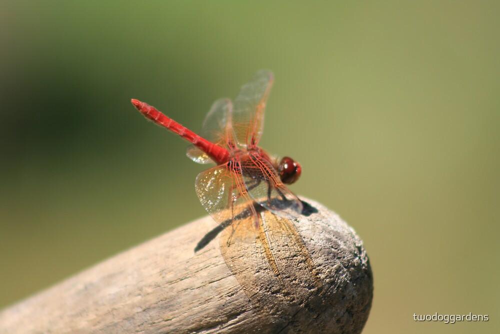 Ruby Dragonfly by twodoggardens
