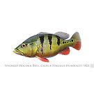 Peacock Bass - Tucunaré (Cichla temensis) by StickFigureFish
