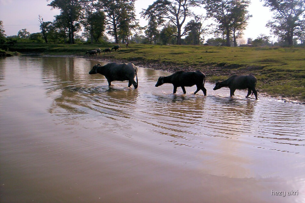 buffalos crossing river by hezy akri