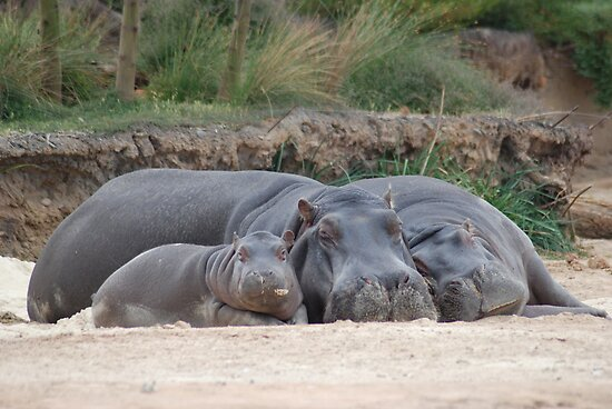 Quot Family Of Hippos Sleeping Quot Posters By Joseph Bailouni