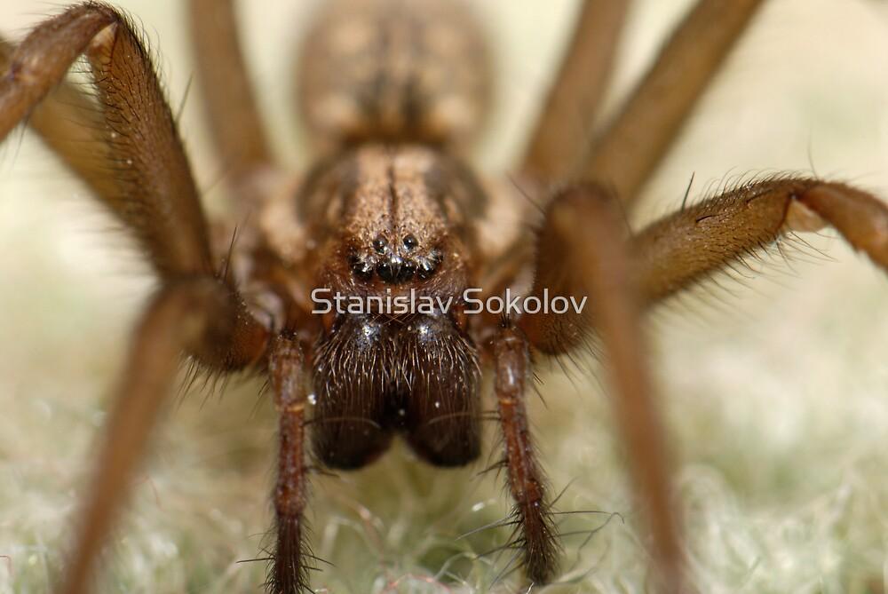 Wolf Spider Extreme   by Stanislav Sokolov