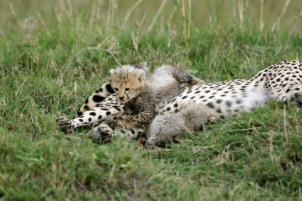 Cheetah cub by Yves Roumazeilles