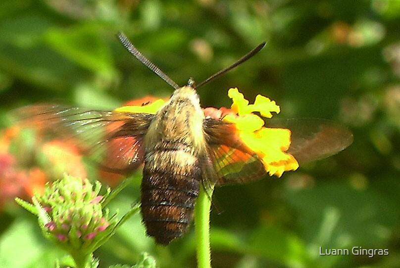 Hummingbird Moth by Luann Gingras