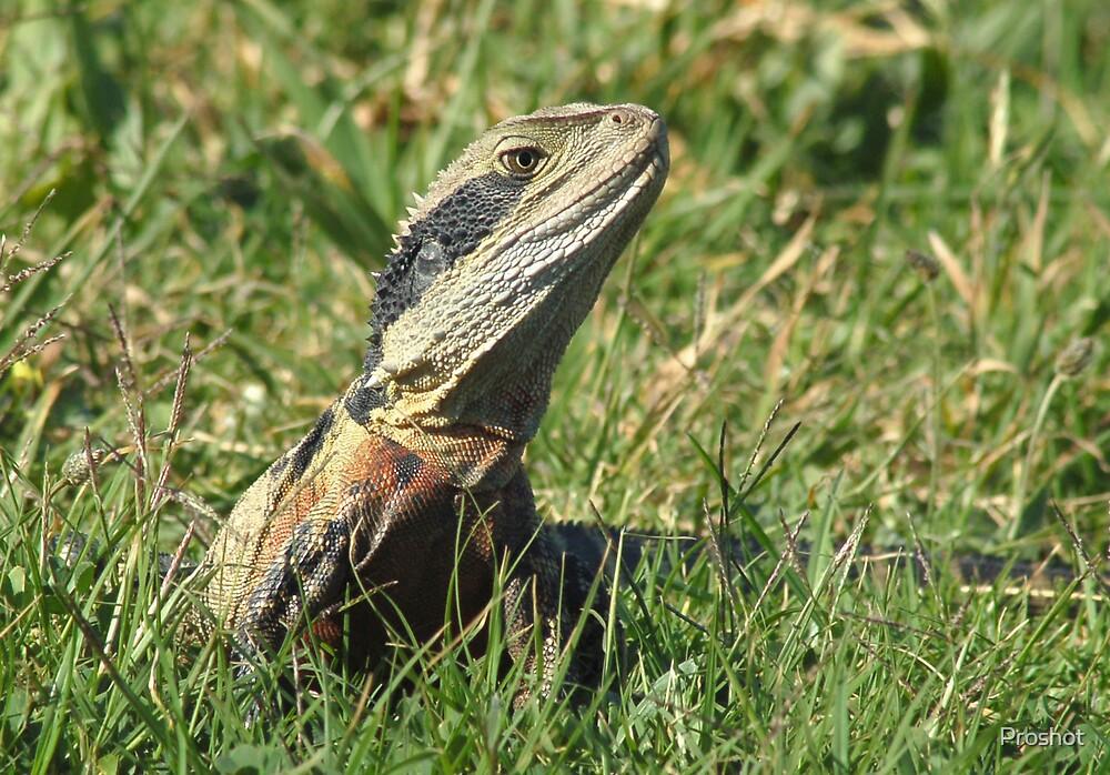 lizard by Proshot