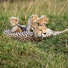 One happy cheetah family by Yves Roumazeilles