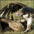 Vulture fight by Yves Roumazeilles