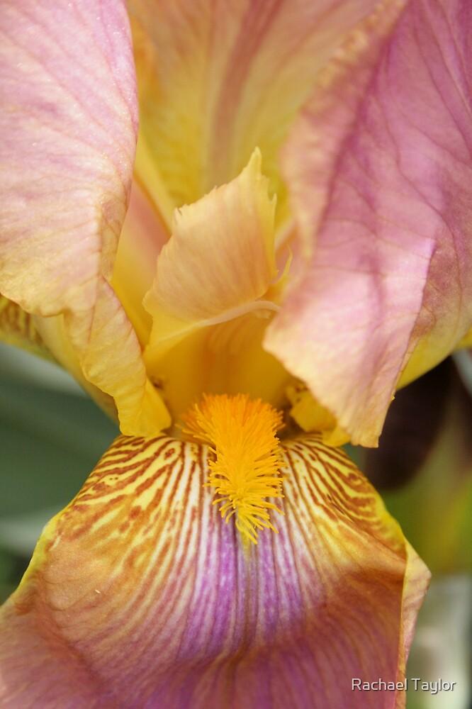 Iris #2 by Rachael Taylor