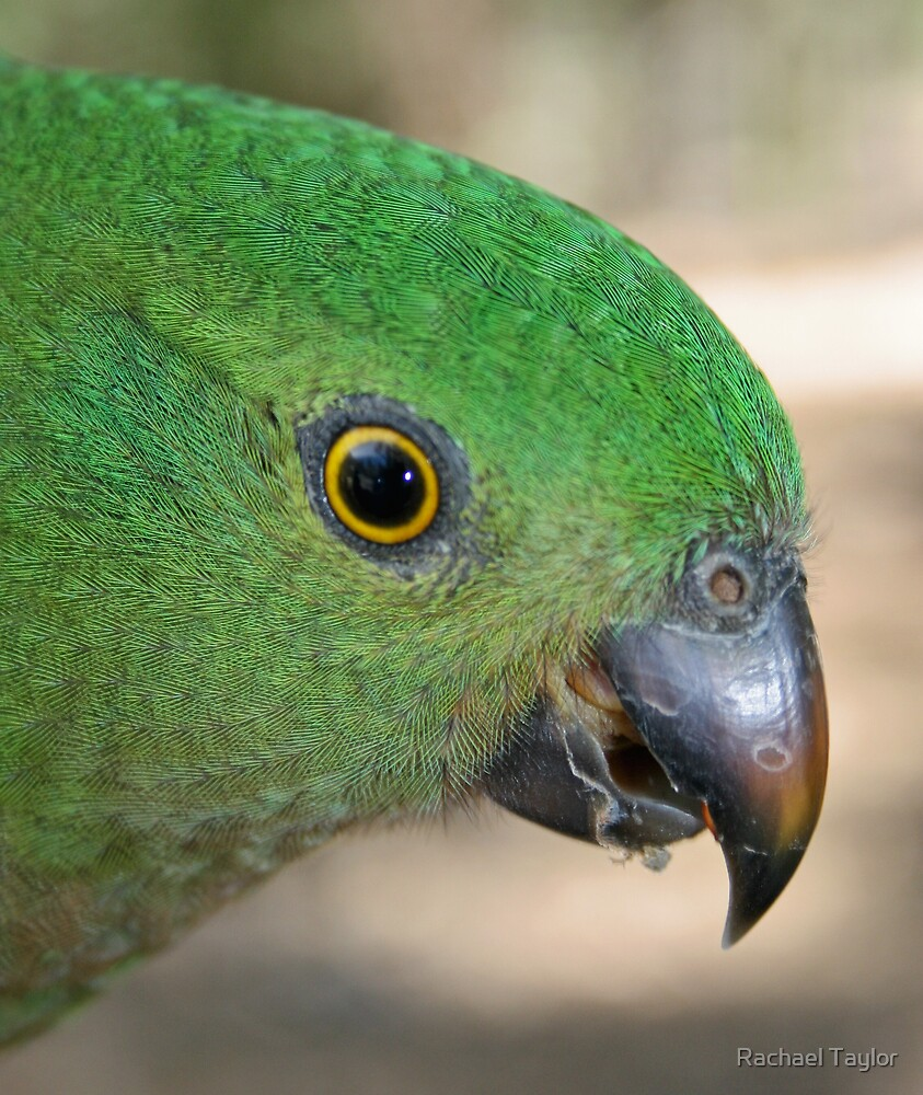 Female King Parrot by Rachael Taylor