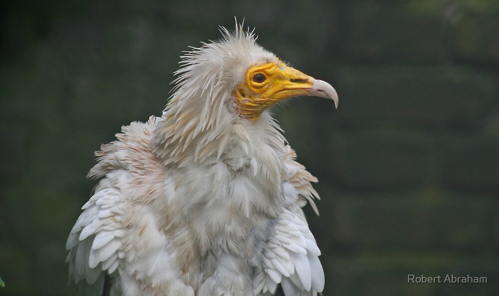 Egyptian Vulture by Robert Abraham
