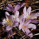 Crocuses by Kashmere1646