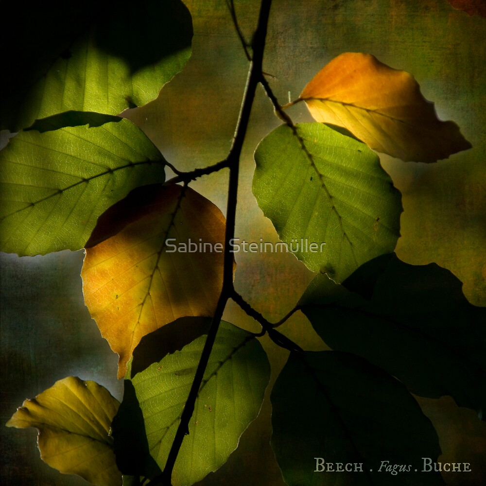 beech. by Sabine Steinmüller