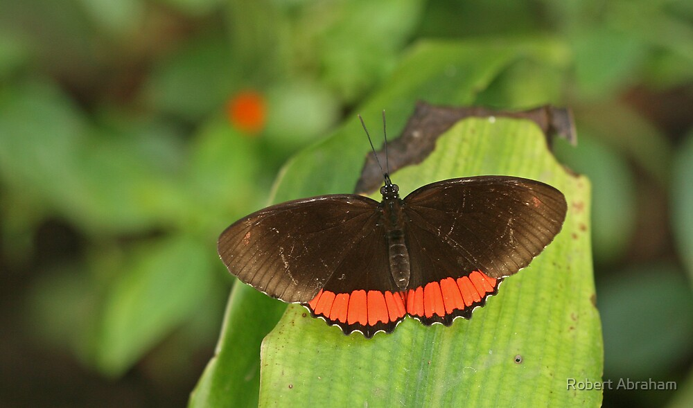Red Rim Butterfly by Robert Abraham