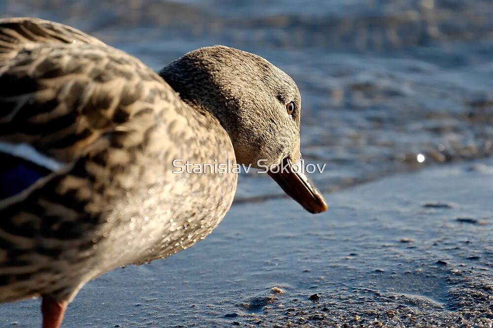 Ponderous Duck  by Stanislav Sokolov