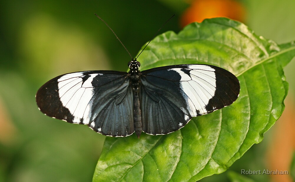 Blue & White Longwing by Robert Abraham