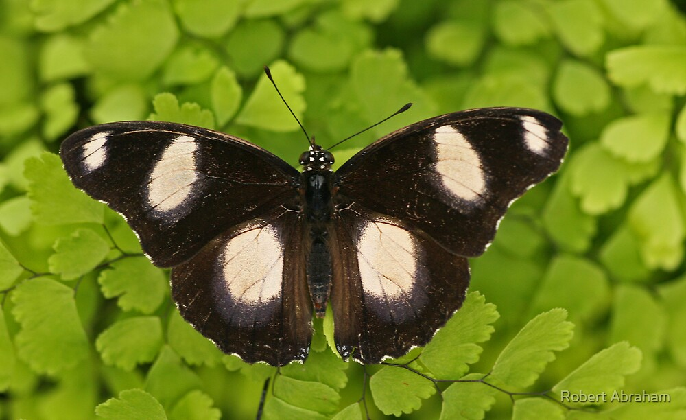 Common Eggfly by Robert Abraham