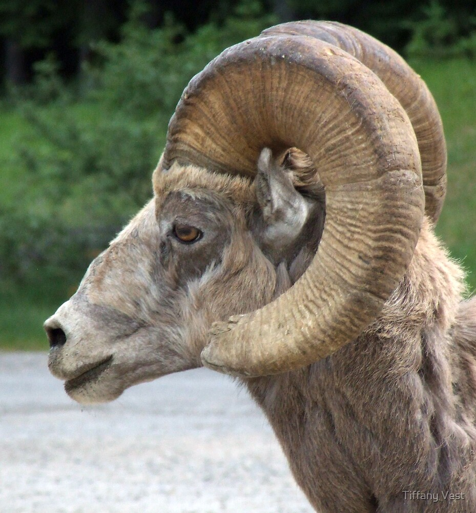 Ram Head by Tiffany Vest