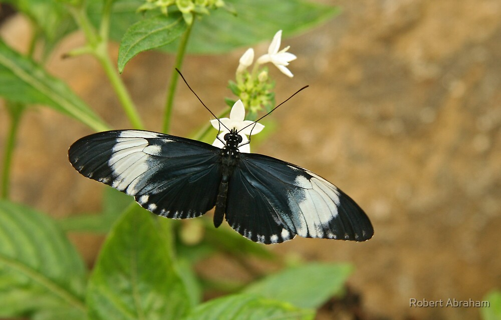 Sapho Longwing Butterfly by Robert Abraham