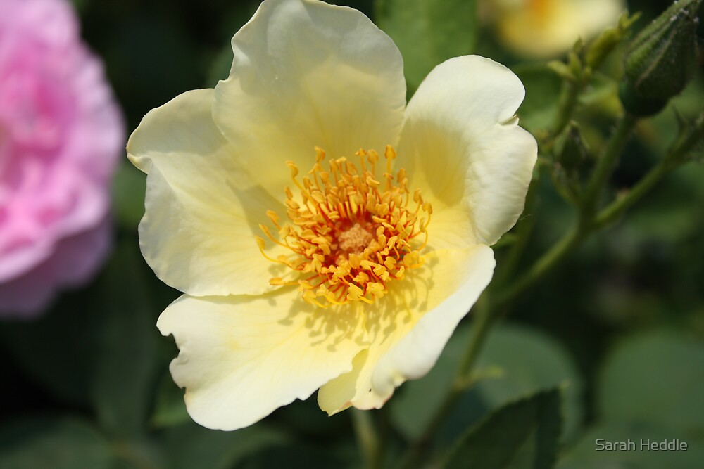 Yellow Rose by Sarah Heddle