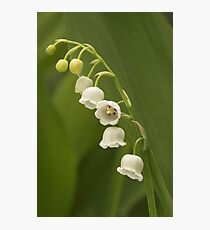 Lilly-of-the-Valley  Photographic Print