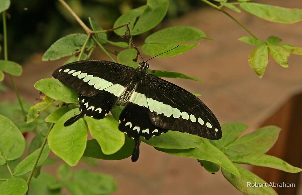 Malabar Banded Swallowtail by Robert Abraham
