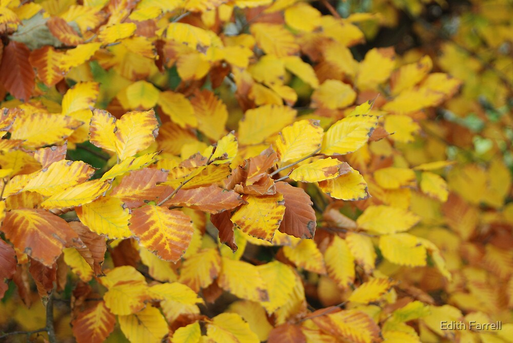 Golden Leaves of Fall by Edith Farrell