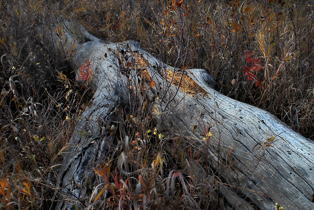 Decayed Trunk in the Coulee by RedZenda