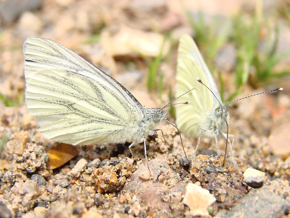 Two Green-veined White butterflies by Arissa