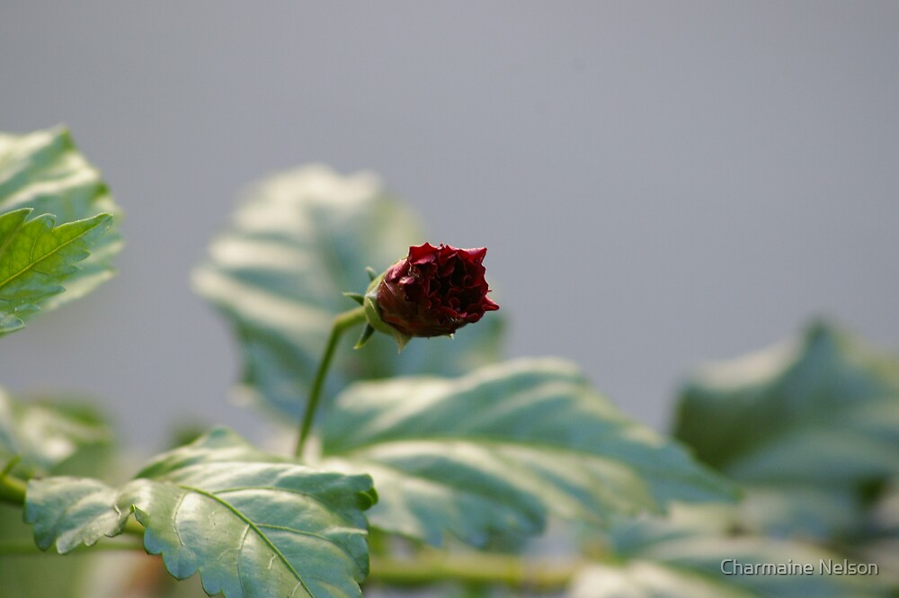 Hibiscus Bud by Charmaine Nelson
