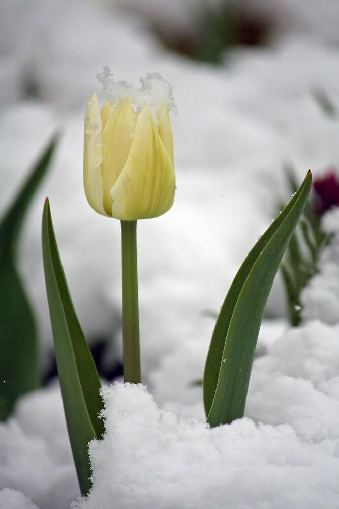 Tulip by Karen Millard