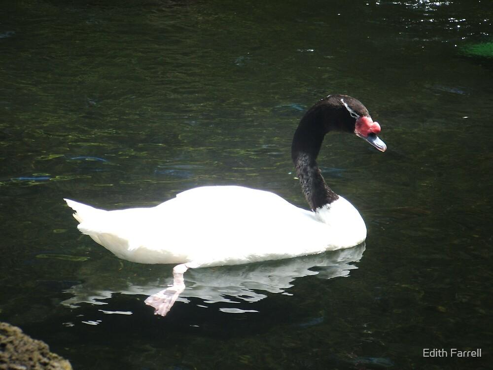 Black Headed Swan by Edith Farrell