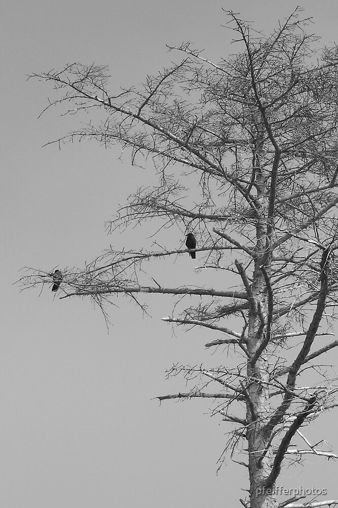 Crows by pfeifferphotos