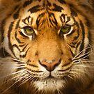 Tiger,tiger burning bright... by ChrisHopkins